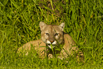 Mountain lion (Felis concolor) eating grass, Pine County, MN  captive