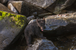 North America, USA, Alaska, Tongass National Forest, Anan Creek, black bear cub