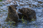 North America, USA, Alaska, Tongass National Forest, Anan Creek, young grizzlies wrestling