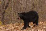 Black bear cub (Ursus americanus) in fall color. Captive. PIne County, MN