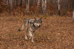 Gray wolf (Canis lupus) and fall color. Captive. Pine County, MN