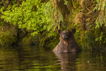 North America, USA, Alaska, Tongass National Forest, Anan Creek, grizzly