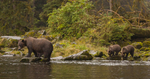 North America, USA, Alaska, Tongass National Forest, Anan Creek, grizzly mom and cubs fishing