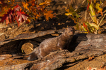 Mink (Mulstela vison) in log with fall color. Captive. Pine County, MN