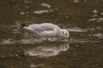 North America, USA, Alaska, Tongass National Forest, Bonaparte's gull eating salmon eggs.