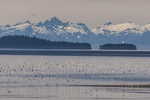 North America, USA, Alaska, Tongass National Forest, gulls in flight