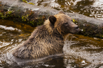 North America, USA, Alaska, Tongass National Forest, Anan Creek, young grizzly