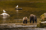 North America, USA, Alaska, Tongass National Forest, Anan Creek, grizzly mon and cub