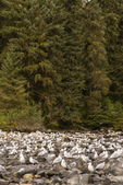 North America, USA, Alaska, Tongass National Forest, Anan Creek, glaucous-winged gulls