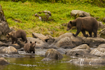 North America, USA, Alaska, Tongass National Forest, Anan Creek, grizzly mom and cubs