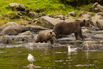 North America, USA, Alaska, Tongass National Forest, Anan Creek, grizzly and cub