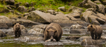 North America, USA, Alaska, Tongass National Forest, Anan Creek, grizzly mom and cubs salmon fishing