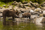 North America, USA, Alaska, Tongass National Forest, Anan Creek, grizzly mom and cub sharing a salmon