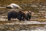 North America, USA, Alaska, Tongass National Forest, Anan Creek, grizzly mom and cub eating salmon