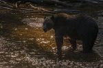 North America, USA, Alaska, Tongass National Forest, Anan Creek, backlit grizzly