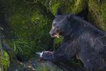 North America, USA, Alaska, Tongass National Forest, Anan Creek, black bear eating salmon