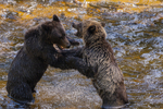 North America, USA, Alaska, Tongass National Forest, Anan Creek, grizzly cubs wrestling