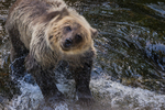 North America, USA, Alaska, Tongass National Forest, Anan Creek, young grizzly shaking off water
