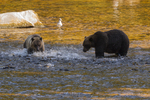 North America, USA, Alaska, Tongass National Forest, Anan Creek, grizzly mom and cub fishing for salmon