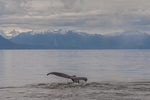 North America, USA Alaska, Tongass National Forest, Frederick Sound,  humpback whale tail