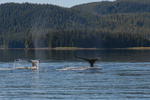 North America, USA, Alaska, Tongass National Forest, Seymour Canal, humpback whale tails