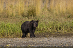 North America, USA, Alaska, Tongass National Forest, Admiralty Island, Alaska, Kootznoowoo Wilderness, Fortress of the Bears, grizzly cub