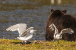 North America, USA, Alaska, Tongass National Forest, Admiralty Island, Alaska, Kootznoowoo Wilderness, Fortress of the Bears, glaucous-winged gulls and grizzly