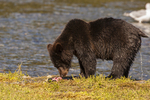North America, USA, Alaska, Tongass National Forest, Admiralty Island, Alaska, Kootznoowoo Wilderness, Fortress of the Bears, grizzly eating and peeing
