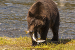 North America, USA, Alaska, Tongass National Forest, Admiralty Island, Alaska, Kootznoowoo Wilderness, Fortress of the Bears, grizzly cub with salmon