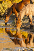 North America, USA, Nevada, Reno, wild horses drinking
