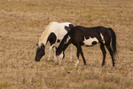 North America, USA, South Dakota, Black Hills Wild Horse Sanctuary, wild horses