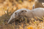 North America, USA, South Dakota, Badlands National Park, black-tailed prairie dogs, white morph, greeting