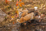 Red fox pair (Vulpes vulpes) with fall color. Captive. Pine County, MN