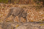 Lynx (Felis lynx) and fall color. Captive. Pine County, MN