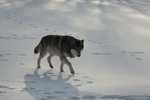 Gray wolf (Canis lupus) in winter. Pine County, Minnestoa. Captive