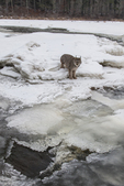 Canada lynx (Lynx canadensis) along a winter stream. Pine County, Minnestoa. Captive