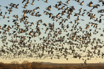 North America, USA, New Mexico, Bosque Del Apache National Wildlife Refuge, snow geese blastoff