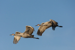 North America, USA, New Mexico, Bosque Del Apache National Wildlife Refuge, sandhill cranes in flight