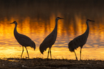 North America, USA, New Mexico, Bosque Del Apache National Wildlife Refuge, sandhill cranes sunrise