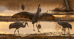 North America, USA, New Mexico, Bosque Del Apache National Wildlife Refuge, sandhill crane mating dance