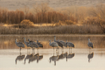 North America, USA, New Mexico, Bosque Del Apache National Wildlife Refuge, sandhill cranes