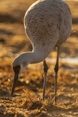 North America, USA, New Mexico, Bosque Del Apache National Wildlife Refuge, sandhill crane foraging