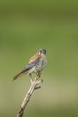 North America, USA, Colorado, Elbert County, kestrel, male