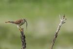 North America, USA, Colorado, Elbert County, kestrel, male, with prey