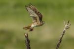 North America, USA, Colorado, Elbert County, kestrel, male, in flight