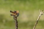 North America, USA, Colorado, Elbert County, kestrel, male, preening