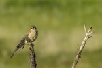 North America, USA, Colorado, Elbert County, kestrel, male, wing stretch