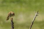 North America, USA, Colorado, Elbert County, kestrel, male, scratching