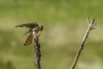 North America, USA, Colorado, Elbert County, kestrel, male, eating grasshopper