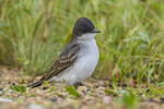 North America, USA, Colorado, Rocky Mountain Arsenal National Wildlife Refuge, eastern kingbird